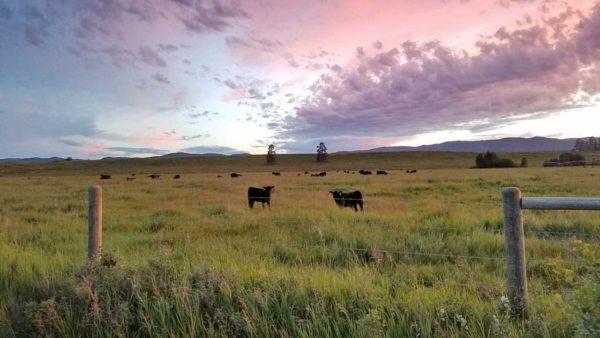 Cattle-in-Whitefish-Montana