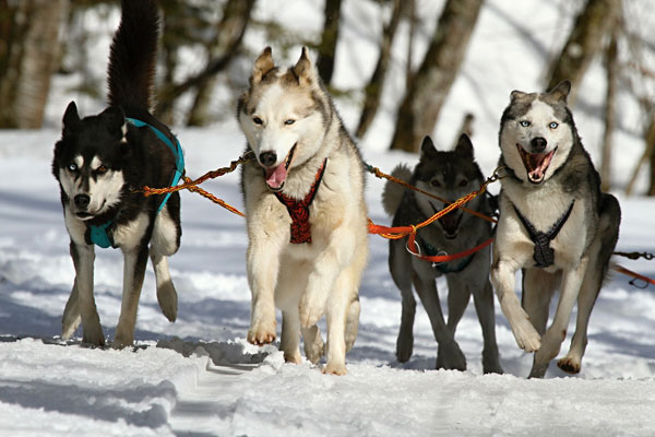 Dog Sledding in the Flathead Valley